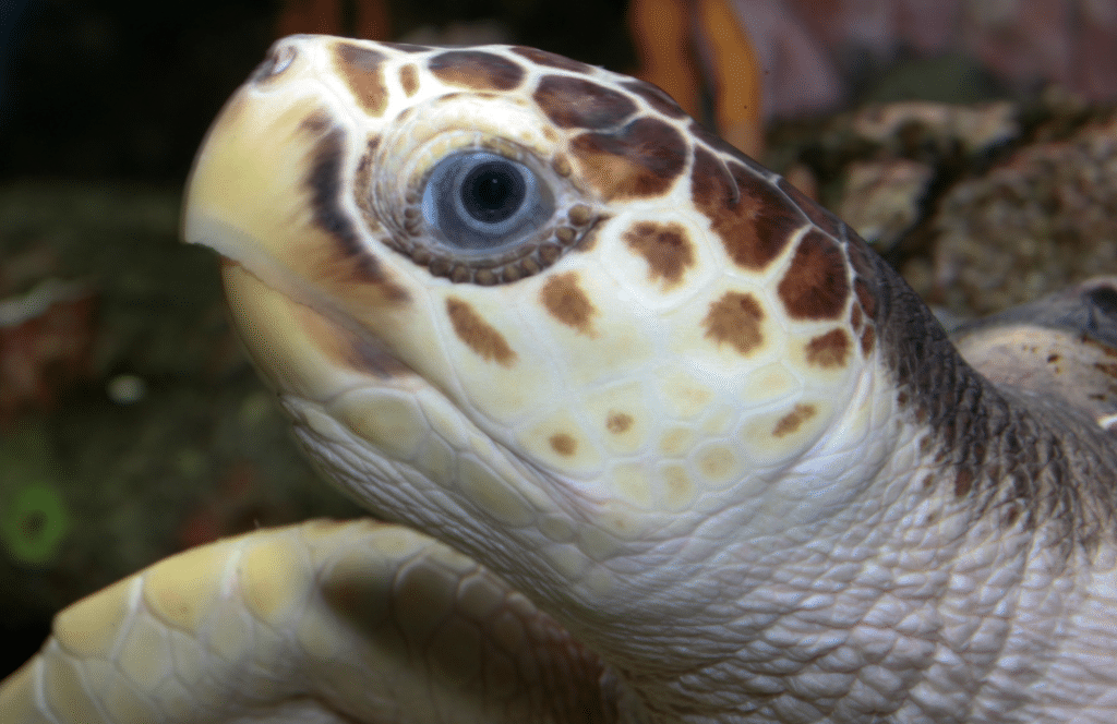 Loggerhead Turtle face and eye knowing